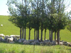 Shade sheep